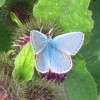 Common Blue Butterfly on Burdock, near Wilstone Reservoir