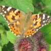 Painted Lady Butterfly on Burdock, near Wilstone Reservoir
