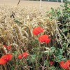 Poppies on the edge of the wheat field