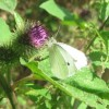 Small White Butterfly on Burdock, near Wilstone Reservoir