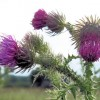 Common Thistle on the verge of the track to Wilstone Reservoir