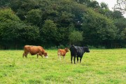 Cattle and The Grove, near Leafield