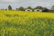 Oilseed rape field, Bockleton