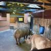 Paignton : Paignton Zoo, Black Rhino