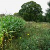Maize by a byway, near Finstock