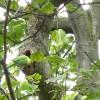 Greenwich Park: parakeet's nest
