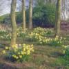 Daffodil bank