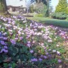 Hardy Cyclamen at Kenchester Water Gardens