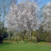 Ornamental cherry tree at Kenchester Water Gardens