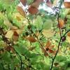 Beech leaves preparing for the winter
