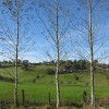 Three spindly birch trees