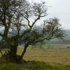 Gnarled old Hawthorn on Longstone Moor