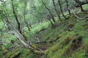 Birch woodland on Carn Mor
