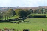 Sheep and cattle near Aberclawdd