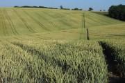 Footpath through wheat, Chalfont St Giles