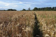 Footpath through barley, Goring Heath