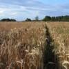 Footpath through barley, Goring Heath