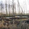 Poplars in pasture