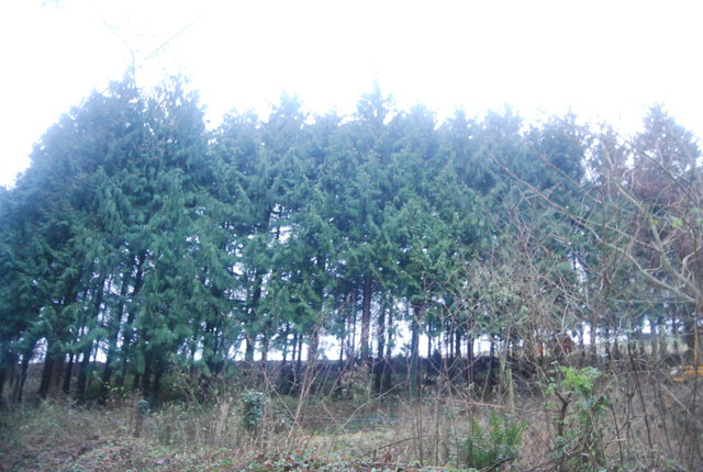 Conifers by Thorncombe Lane