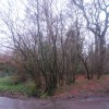 Coppiced trees by the junction of Chilcombe Lane & Trendle Lane