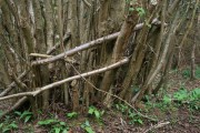Coppice woodland north Mendip forest