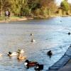 Mallards on the Grand Union Canal near Emscote Road, Warwick