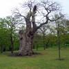 Ancient Hornbeam, Greenwich Park, Greenwich