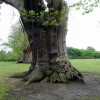 Ancient Hornbeams, Greenwich Park, Greenwich