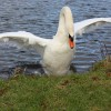 Aggressive swan insists we leave his patch