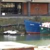 Bristol swans feeding