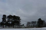 Pine trees and a few hardy cattle