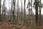 Beech trees at Footland Wood