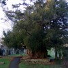 Yew tree at Peterchurch
