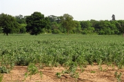 Crops near Gravelly Bridge