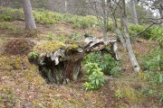 Natural tree sculpture in the woods