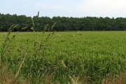 """Wheat Field and """"The Belt"""" near Fairford"""