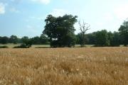 Cornfield taken from public footpath at Nutley Dean Farm