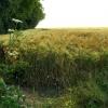 A barley corner on the Ridgeway at Ashbury Folly
