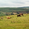 Ponies on Troed-y-rhiw mountain