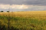 Barley Field near Chipping Norton