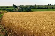 Wheat field near Lidstone