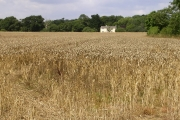 Ripe wheatfield between Exbury and Lepe