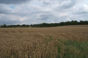 Wheat field, Rushett Farm