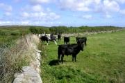 Bullocks below Caer Bran