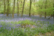Bluesbells  in Abbots Wood