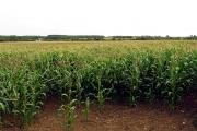 Maize Field near Hullavington