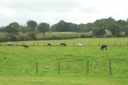 Donkeys grazing on The Bell