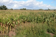 Field of Maize at The Leigh