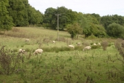 Sheep grazing at Setley Farm, New Forest