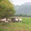Sheep near Mapperley Park